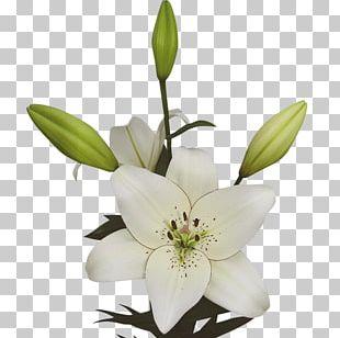 Lilium Eye Liner Cut Flowers Expert PNG