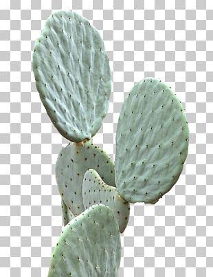 Cactaceae Succulent Plant Green PNG