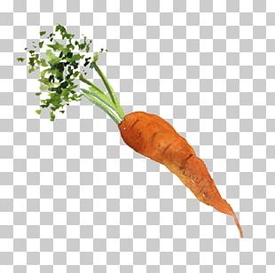 Baby Carrot Organic Food Vegetable PNG