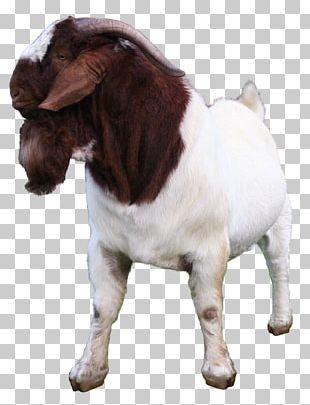 Boer Goat Jamnapari Goat Kalahari Red Goat Meat Sheep PNG