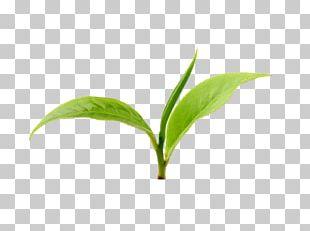 Green Tea Wuyi Tea Anhua County Xinyang Maojian Tea PNG