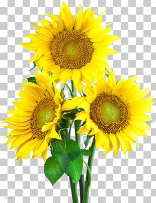 Portable Network Graphics Common Sunflower PNG