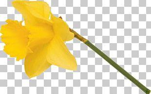 Narcissus Flowering Plant Petal Plant Stem PNG