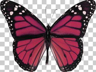 Monarch Butterfly Insect Milkweed Butterflies Glasswing Butterfly Narrowleaf Milkweed PNG