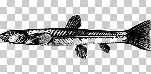 Triplophysa Dalaica Sardine Fish Products PNG