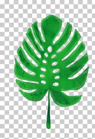 Swiss Cheese Plant Leaf Euclidean Green PNG