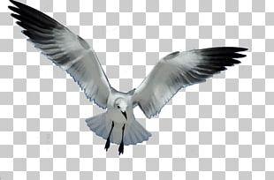 Gulls Bird European Herring Gull Flight PNG