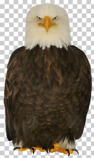 Bald Eagle Bird Of Prey Beak PNG