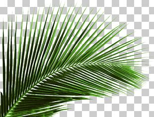 Arecaceae Leaf Palm Branch Tree PNG