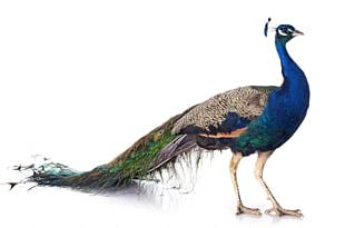 Bird Asiatic Peafowl Female Stock Photography PNG