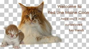 Maine Coon Whiskers Norwegian Forest Cat Domestic Short-haired Cat Kitten PNG