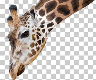 National Zoo & Aquarium African Wild Dog Reticulated Giraffe Northern Giraffe Animal Antics A PNG