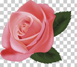 Still Life: Pink Roses Illustration PNG