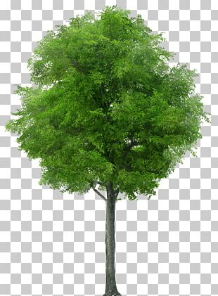 American Sycamore Populus Nigra Tree PNG