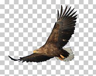 Bald Eagle Bird Hawk PNG