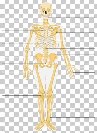 The Skeletal System Human Skeleton Bone Anatomy PNG