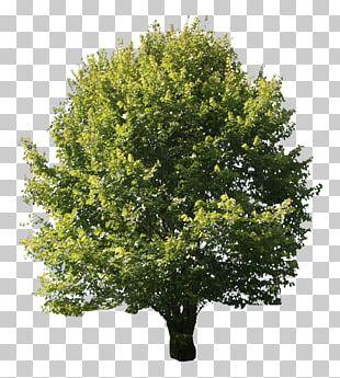 Desktop Portable Network Graphics Oak Tree PNG