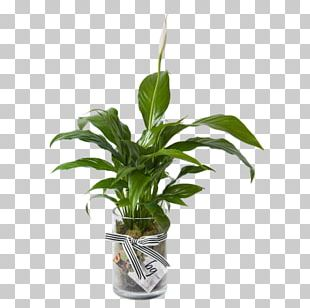 Houseplant Peace Lily Leaf Plant Stem PNG