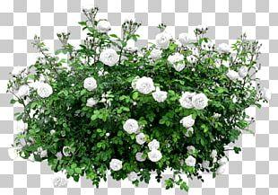 Shrub Flower Rose Tree PNG