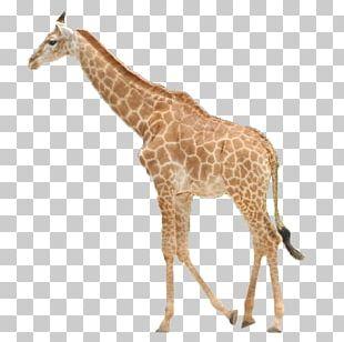Northern Giraffe Icon PNG
