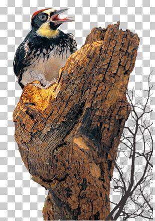Bird Woodpecker Cattle PNG