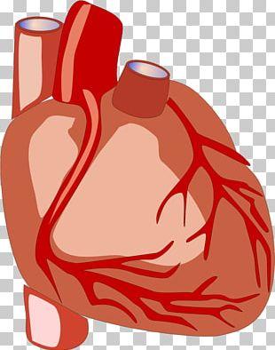 Heart Anatomy Human Body Organ PNG