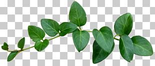 Leaf Green Tree PNG