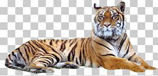 Bengal Tiger Siberian Tiger PNG