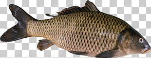 Koi Freshwater Fish Gilt-head Bream Food PNG