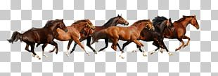 Haflinger American Paint Horse American Miniature Horse Budyonny Horse Gallop PNG