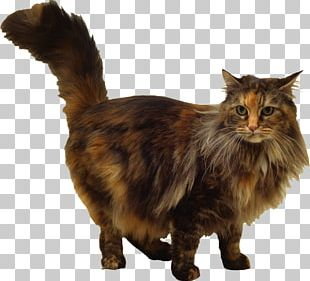 Maine Coon Whiskers Domestic Short-haired Cat Siamese Cat Turkish Angora PNG