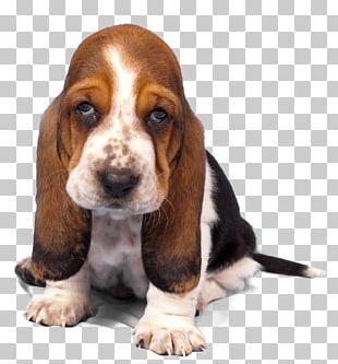 Basset Artésien Normand Basset Hound Finnish Hound Puppy Dog Breed PNG