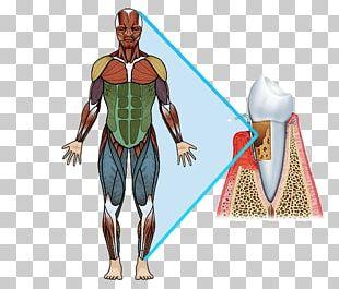 Pectoralis Major Muscle Human Body Quadriceps Femoris Muscle Muscular System PNG
