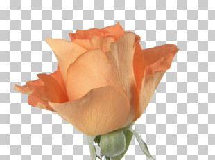 Beach Rose Flower Orange PNG