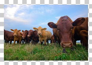 Beef Cattle Organic Food Organic Beef Meat PNG