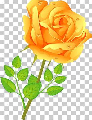 Garden Roses Centifolia Roses Floribunda Cut Flowers PNG