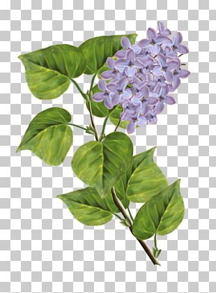 Lilac PNG