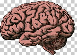 Human Brain Project Superficial Veins Of The Human Brain PNG