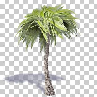 Asian Palmyra Palm Coconut Ravenea Sabal Palm Tree PNG