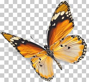 Monarch Butterfly Insect Red Stock Photography PNG
