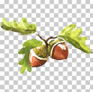 Fruit Watercolor Painting Acorn Illustration PNG