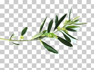 Olive Branch Flower PNG