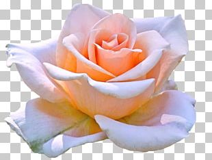 Hybrid Tea Rose Hybrid Tea Rose Flower PNG