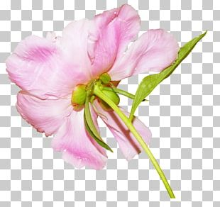 Petal Beach Rose Flower China Rose PNG
