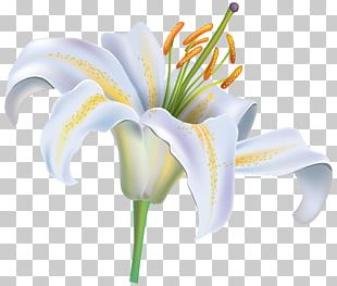 Easter Lily Tiger Lily Lilium Candidum Flower PNG