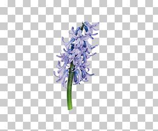 Hyacinthus Orientalis Purple Flower PNG