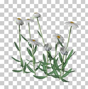 Common Daisy Medicinal Plants Flower PNG