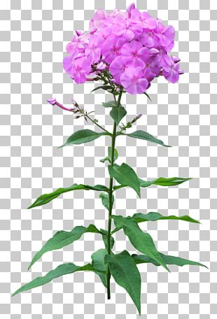 Phlox Flower Pruning Perennial Plant PNG