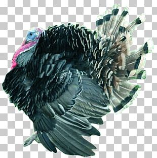 Turkey Bird Aviculture Poultry Farming Biology PNG