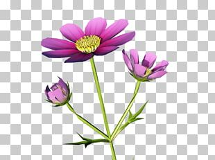 Garden Cosmos Anemone Annual Plant Desktop Herbaceous Plant PNG